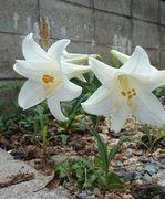 ユリの花が咲きました