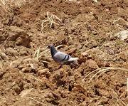 畑にたたずむ鳥さん