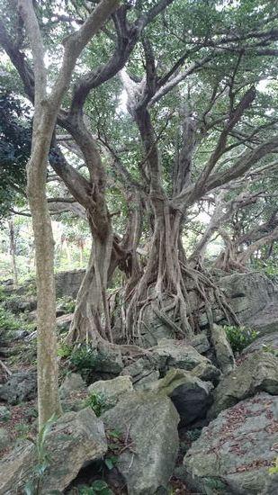 岩石公園の大木