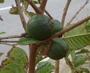 街路樹にグアバ