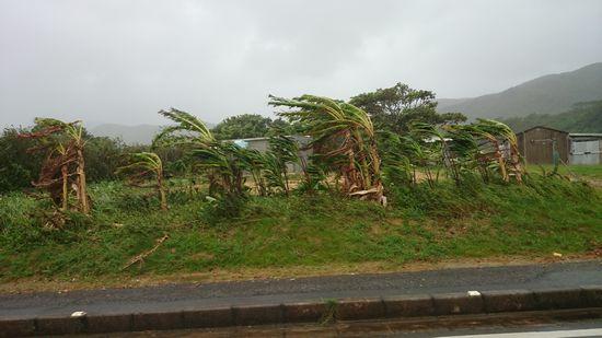 バナナの木。波打ってます