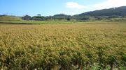 二回目の収穫目前のお米です
