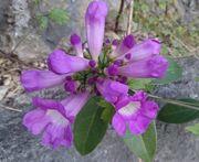 ニンニクカヅラの花