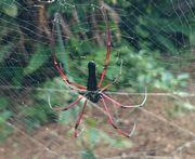 足が赤いクモ
