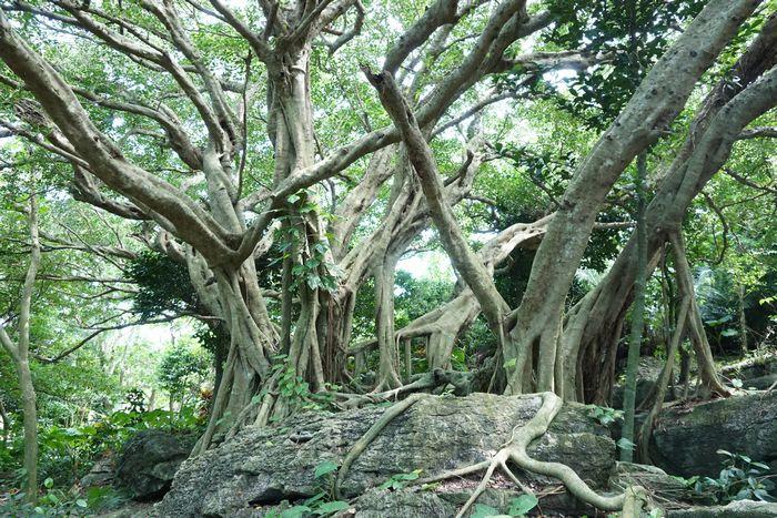 パワースポット、がじゅまるの木
