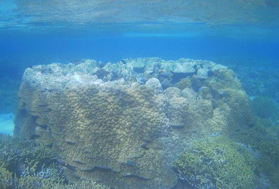 巨大なハマサンゴ