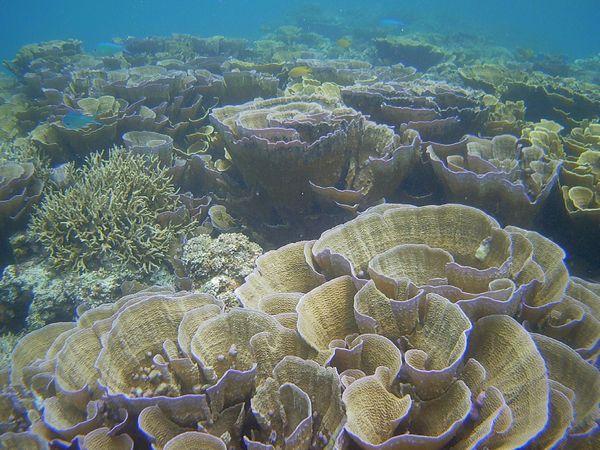 マイタケサンゴの登場です