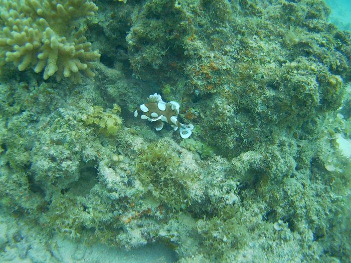 チョウチョウコショウダイの幼魚