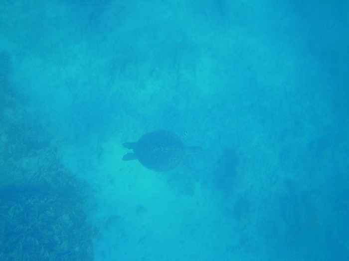 ゆったり泳ぐカメさん