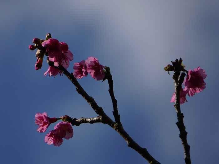 おっ!開花しているサクラです。