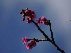 春を探して石垣島をドライブ♪ほらサクラの開花です♪
