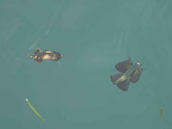 カワハギの幼魚と一緒に