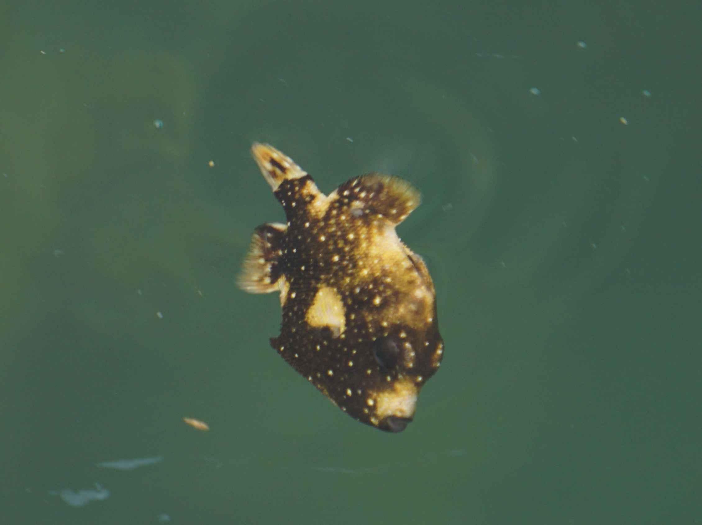 カワハギの幼魚も登場です