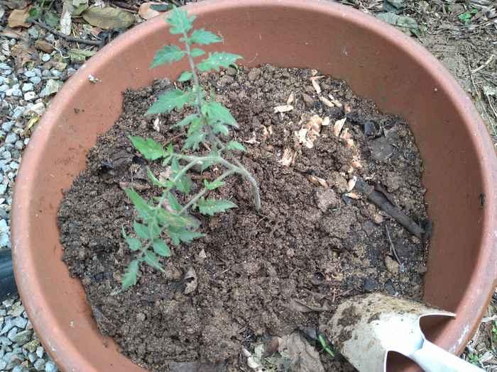 トマトの植え替え完了です。