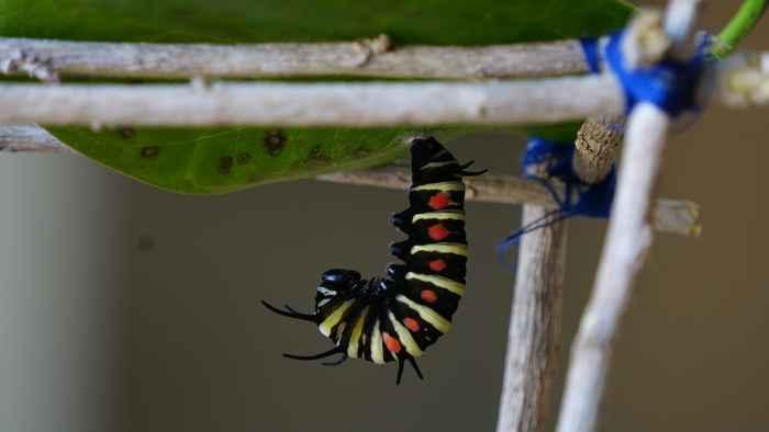 オオゴマダラの幼虫、サナギになる