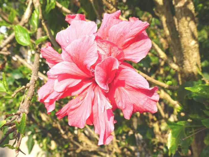 ピンクのハイビスカス