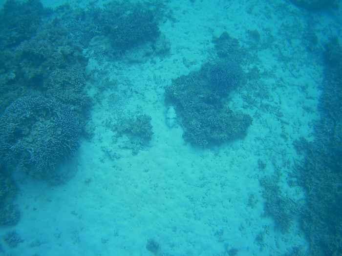コブシメを発見