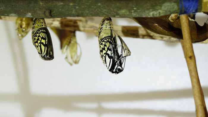 オオゴマダラの羽化はじまり