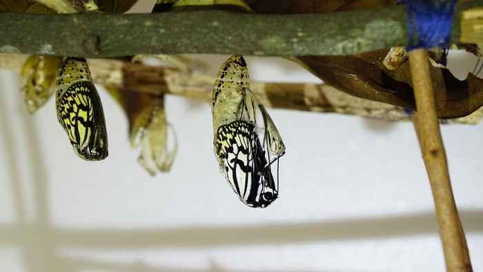 オオゴマダラの羽化 体がでてきます