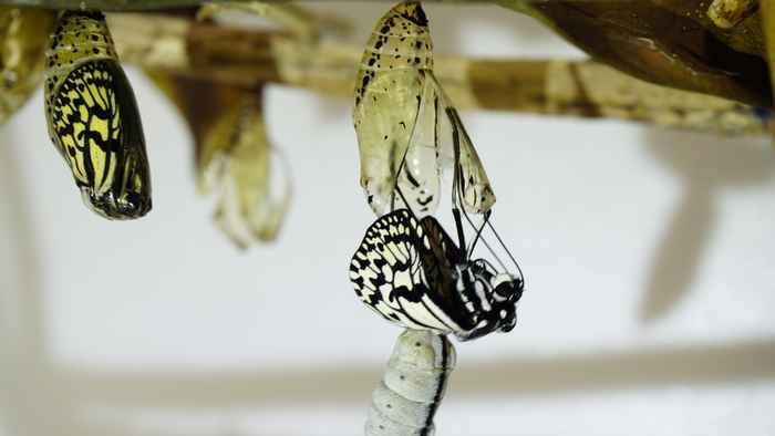 オオゴマダラの羽化 体がすっぽ抜けました