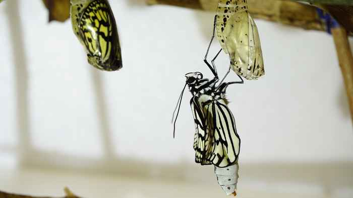 オオゴマダラの羽化 あとは羽が乾くのをまつのみ