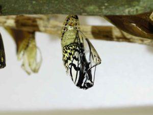 オオゴマダラの成長ブログ。いよいよ羽化へ