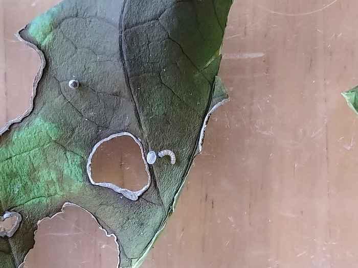 オオゴマダラの孵化