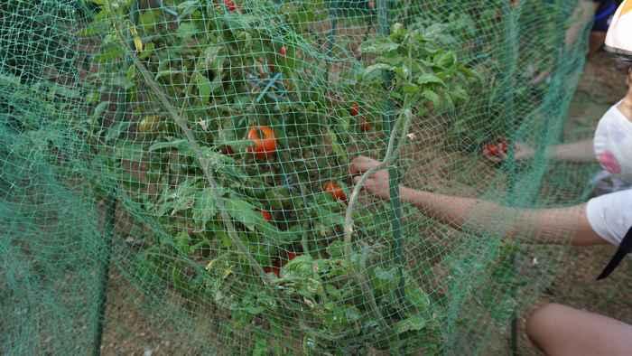 トマトの収穫祭です
