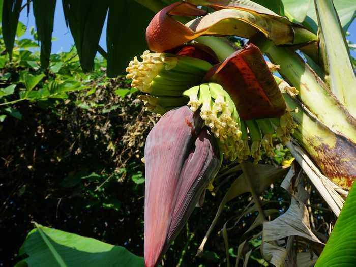 今年初の収穫に向けてバナナ