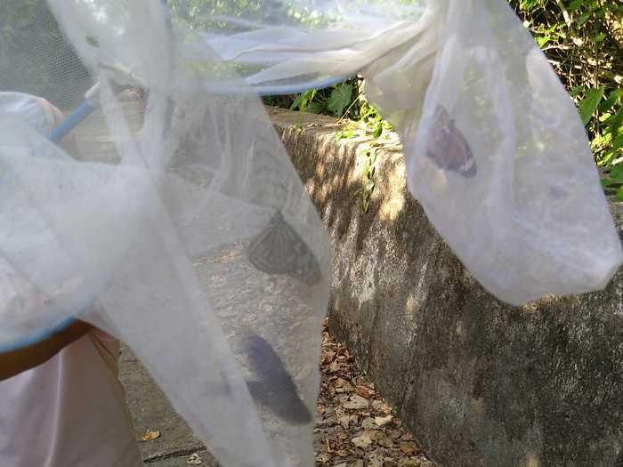 虫網にチョウチョウいっぱい