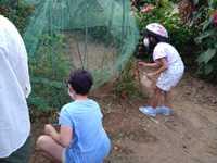 トマトの収穫、第二弾