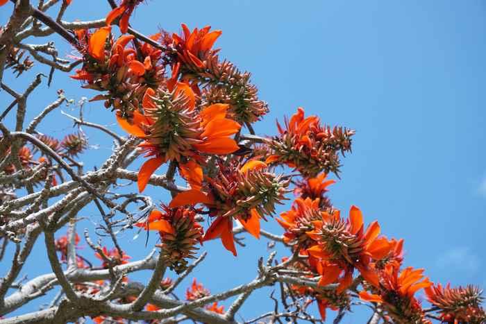 石垣島、春の風物詩ディゴの花