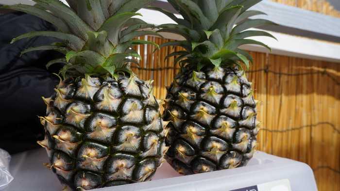 5月22日の朝のパイナップル全体