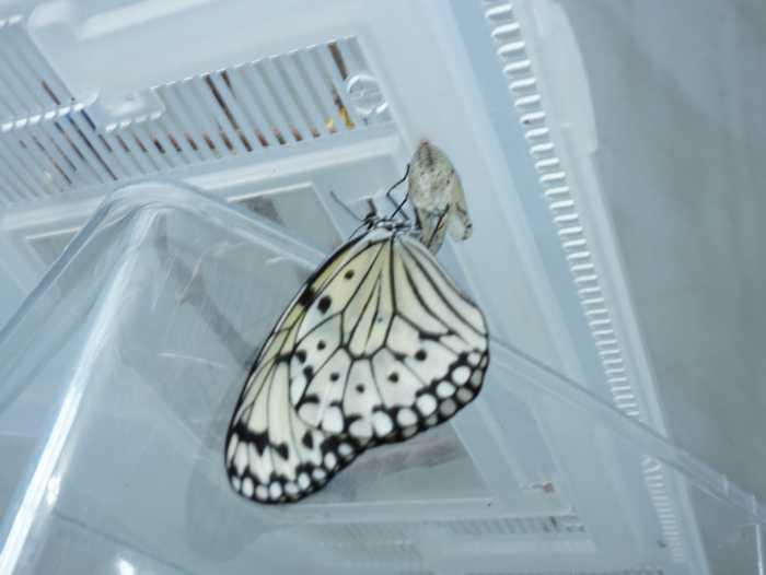 虫かごのふたの裏のオオゴマダラ