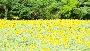 梅雨明け前、夏を先取りブログ!ひまわり畑、開花続々と!