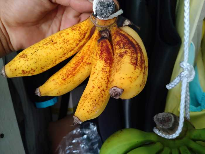 バナナ熟し始めました