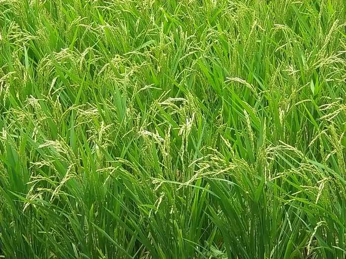 5月の石垣島、お米が実り始めています。