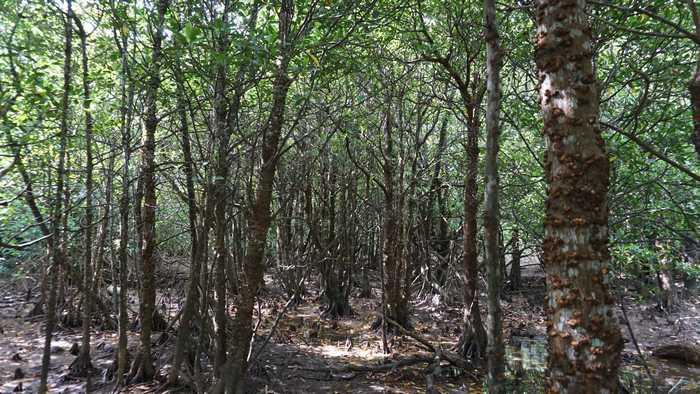 ジャングル体験、マングローブ林へ