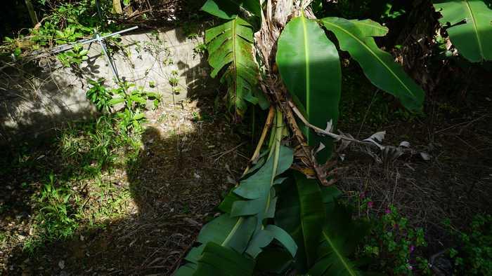 庭のバナナの木が倒れています。