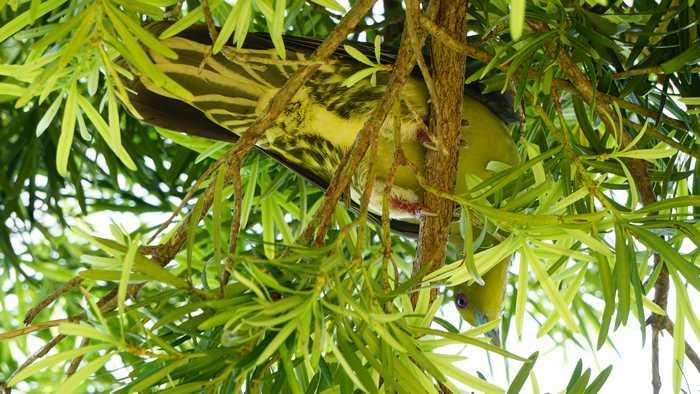 そして頭上の木に泊まるアオバト