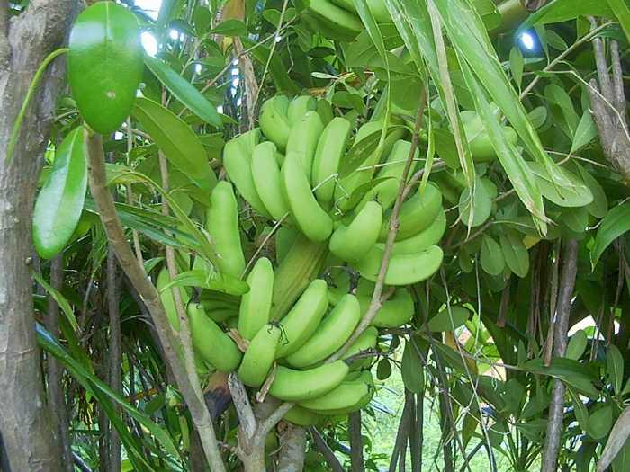 台風で倒れたバナナ