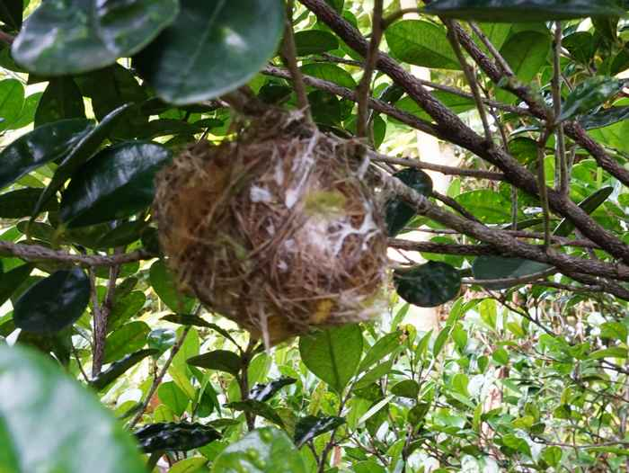 メジロが巣を作っています。