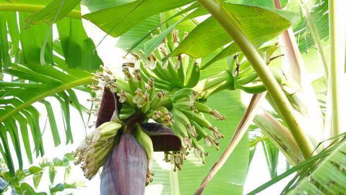 島バナナ、また一つ