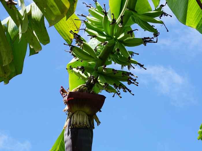 また一つ、島バナナ、収穫近く