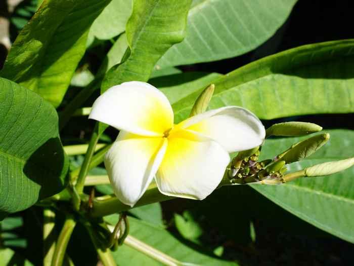 プルメリアが開花