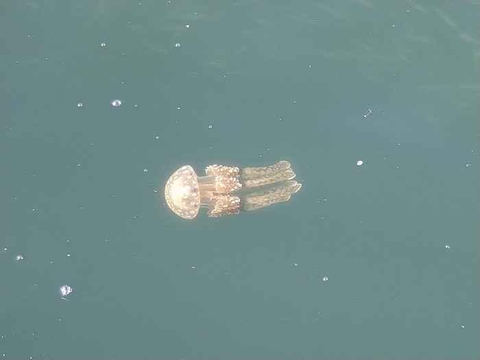 港ですいすい泳いでいるクラゲ