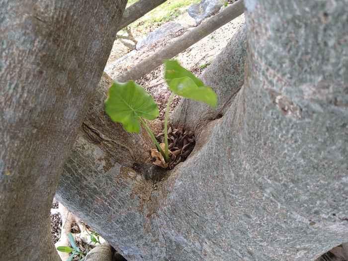 木の間からクワズイモ