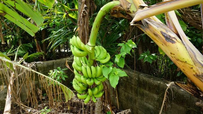 前回台風で倒れたバナナ