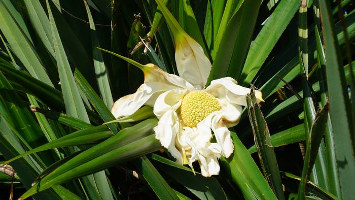 タコノキ、開花後