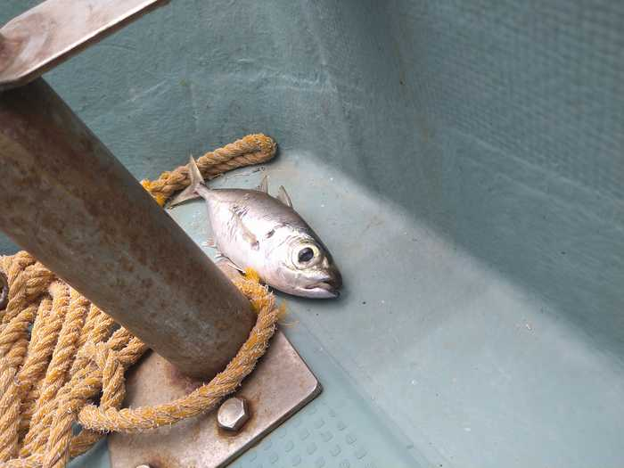 さらに飛び上がってきたお魚さん